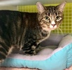 A picture of #ET03705: Ms Kitty a Domestic Short Hair brown tabby/white