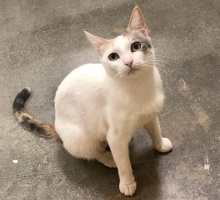 [another picture of Zyra, a Turkish Van Mix calico\ cat]