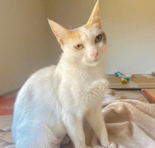 [picture of Zyra, a Turkish Van Mix calico cat]