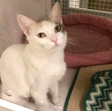 [picture of Zyra, a Turkish Van Mix calico\ cat]