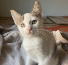 [picture of Lux, a Turkish Van Mix with/brown tabby\ cat]