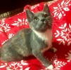 A picture of #ET03714: Maxi a Domestic Medium Hair blue calico