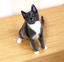 [picture of Maxi, a Domestic Medium Hair blue calico cat]