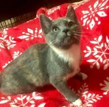 [picture of Maxi, a Domestic Medium Hair blue calico\ cat]