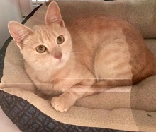 [picture of Amelie, a Domestic Short Hair dilute orange\ cat]
