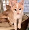 A picture of #ET03716: Obo a Domestic Short Hair orange/white