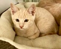 [picture of Newee, a Domestic Short Hair dilute orange cat]