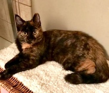 [picture of Diana, a Domestic Short Hair tortie\ cat]