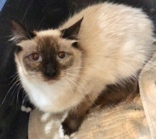 [another picture of Lace, a Ragdoll Mix seal point/snowshoe\ cat]