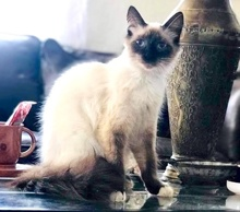 [picture of Lace, a Ragdoll Mix seal point/snowshoe\ cat]