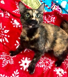 [another picture of Savii, a Hemingway Polydactyl tortie\ cat]