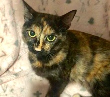 [picture of Savii, a Hemingway Polydactyl tortie cat]