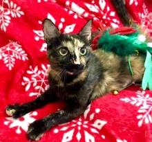 [picture of Savii, a Hemingway Polydactyl tortie\ cat]