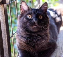 [picture of Fae, a Domestic Long Hair black\ cat]