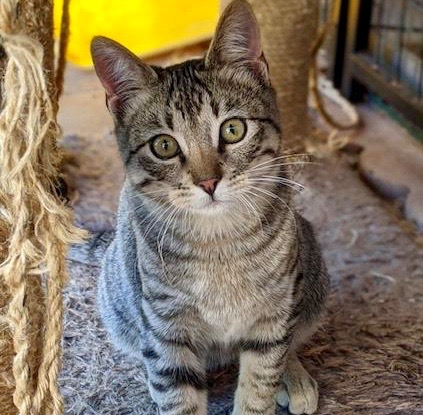 [picture of Felix, a Domestic Short Hair gray tabby\ cat]