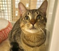 A picture of #ET03739: Ramby a Domestic Short Hair gray tabby