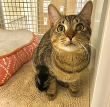 [another picture of Ramby, a Domestic Short Hair gray tabby\ cat]