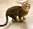 A picture of #ET03740: Revere a Domestic Short Hair gray tabby