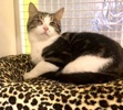 A picture of #ET03754: Saucey a Domestic Short Hair marble tabby/white