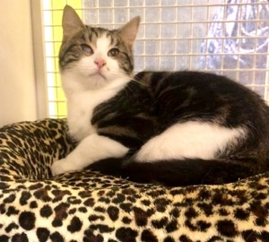 [picture of Saucey, a Domestic Short Hair marble tabby/white\ cat]