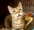 A picture of #ET03757: Misty Mae a Domestic Short Hair gray tabby