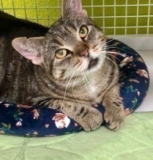 [another picture of Misty Mae, a Domestic Short Hair gray tabby\ cat]