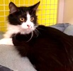 A picture of #ET03761: Marilyn Monroe a Domestic Long Hair blackwhite