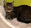 A picture of #ET03762: Little Mama a Domestic Short Hair gray tabby