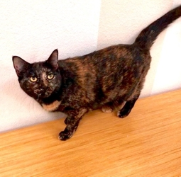 [picture of Little Mama, a Domestic Short Hair gray tabby cat]