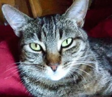 [picture of Little Mama, a Domestic Short Hair gray tabby\ cat]