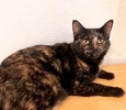 A picture of #ET03763: Catina a Domestic Short Hair tortie