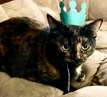 [picture of Catina, a Domestic Short Hair tortie\ cat]