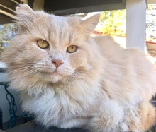 [picture of Oscar Pie, a Persian cream\ cat]