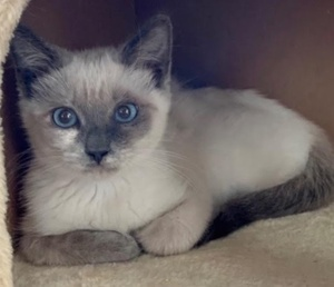 [picture of Frankie, a Siamese Mix blue point\ cat]