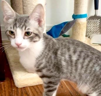 [picture of Dean, a Domestic Short Hair silver tabby/white\ cat]