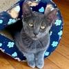 A picture of #ET03768: Sammy Davis a Domestic Short Hair blue