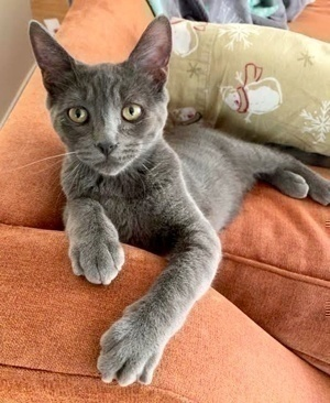 [another picture of Sammy Davis, a Domestic Short Hair blue\ cat]