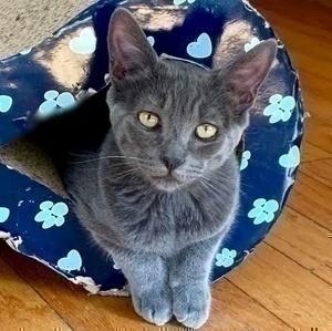 [picture of Sammy Davis, a Domestic Short Hair blue\ cat]