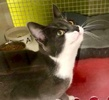 A picture of #ET03769: Tito a Domestic Short Hair blue/white