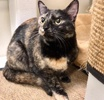 A picture of #ET03770: Dilys a Domestic Short Hair tortie