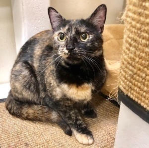 [another picture of Dilys, a Domestic Short Hair tortie\ cat]