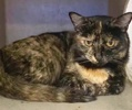 [picture of Dilys, a Domestic Short Hair tortie cat]