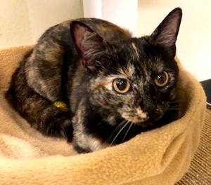 [picture of Dilys, a Domestic Short Hair tortie\ cat]
