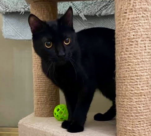 [picture of Charlie, a Domestic Short Hair black\ cat]