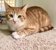 A picture of #ET03774: JB a Domestic Short Hair orange/white