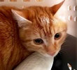 [picture of Q, a Domestic Short Hair orange cat]