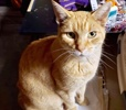 A picture of #ET03776: Mason a Domestic Short Hair orange tabby