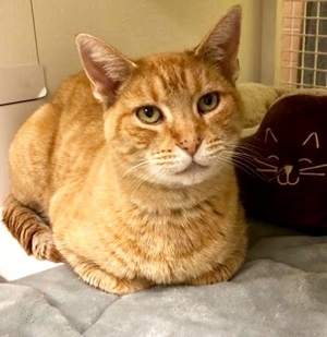 [another picture of Mason, a Domestic Short Hair orange tabby\ cat]