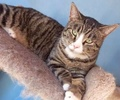 A picture of #ET03778: Cachenton a Maine Coon-x brown tabby/white