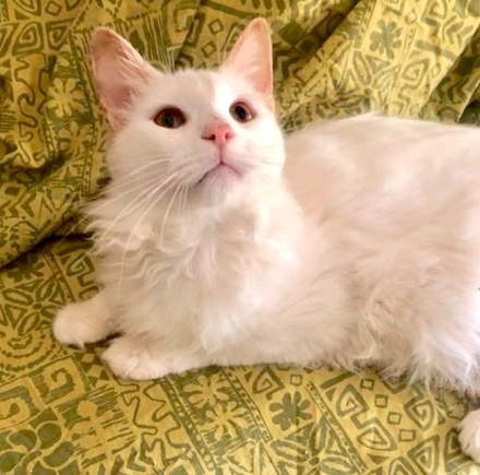 [picture of Copito, a Turkish Angora Mix White\ cat]